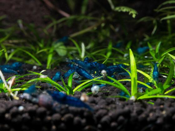 Blue Diamond beim Abendessen (2)