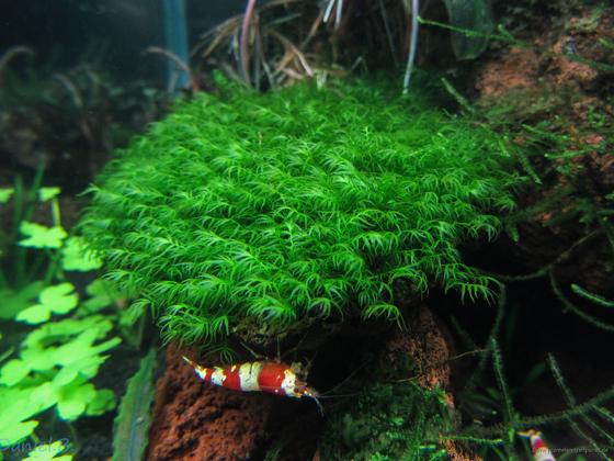 Fissidens fontanus - Phönixmoos
