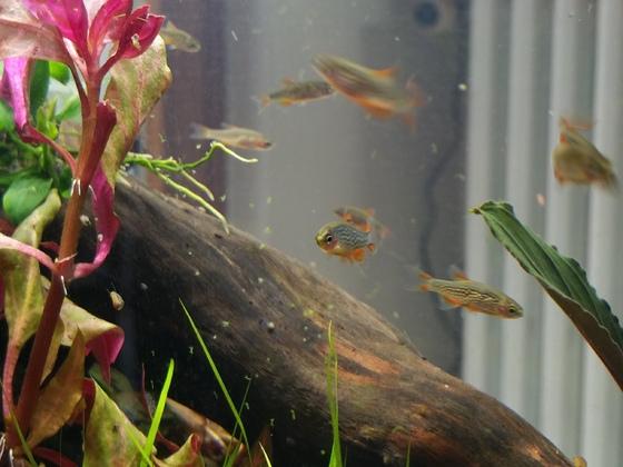 Einzug der Perlhuhnbärblinge