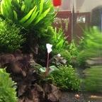 Bucephalandra blüht