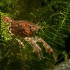 Knabenkrebs - Cambarellus puer