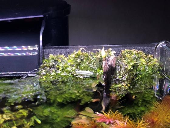 Emers bühende Bucephalandra im Moosbecken