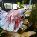 Mr. Bojangles - Betta splendens/Kampffisch