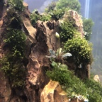 Blühende Mini-Buce im Bonsai Becken 😍