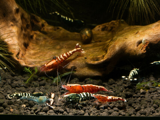 Truppe Pinto Skunk Fishbone etc. pp.