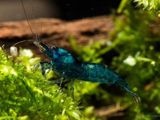 Blue Velvet Garnele