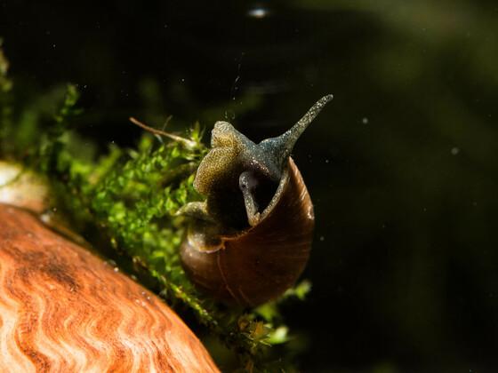 Spitzschlammschneckchen (Soll Hydren fressen)