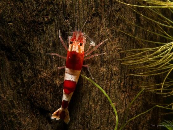 Red Bee A_S (alter Stamm, keine PRL)