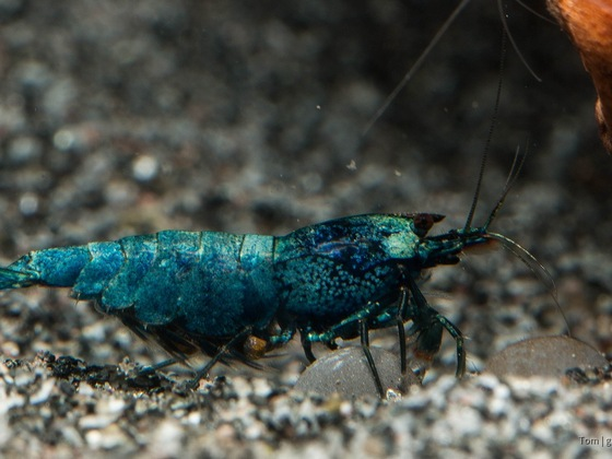 Blue Bolt Garnele (Mama mit Eier)