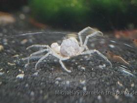 Micro Krabbe