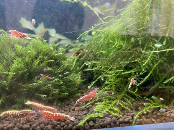 Red Galaxy Fishbone